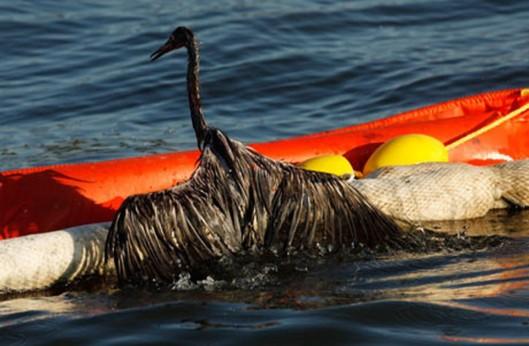 BP-oil-spill-heavily-oile-006