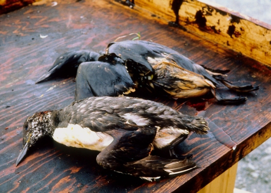 dead-oiled-birds-after-exxon-valdez-spill_credit-exxon-valdez-oil-spill-trustee-council